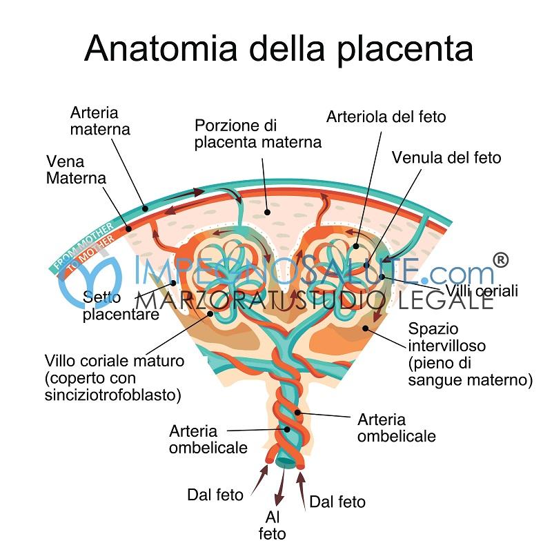 Anatomia placenta malformazioni e malattie nel feto