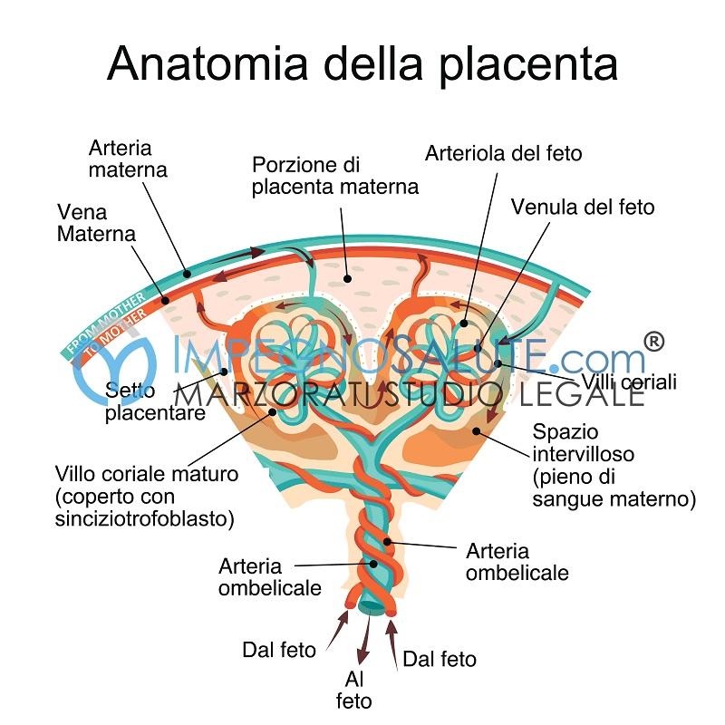 Placenta anatomia vasi e arterie malformazioni e malattie