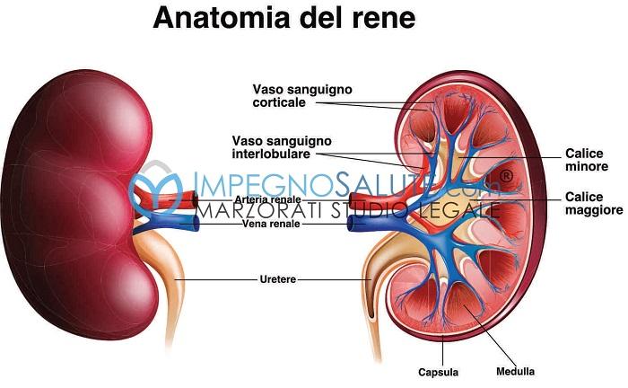 Anatomia del rene